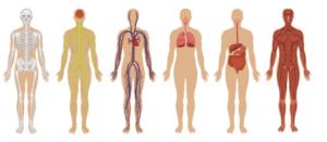 osteopati kan hjælpe de forskellige systemer i kroppen